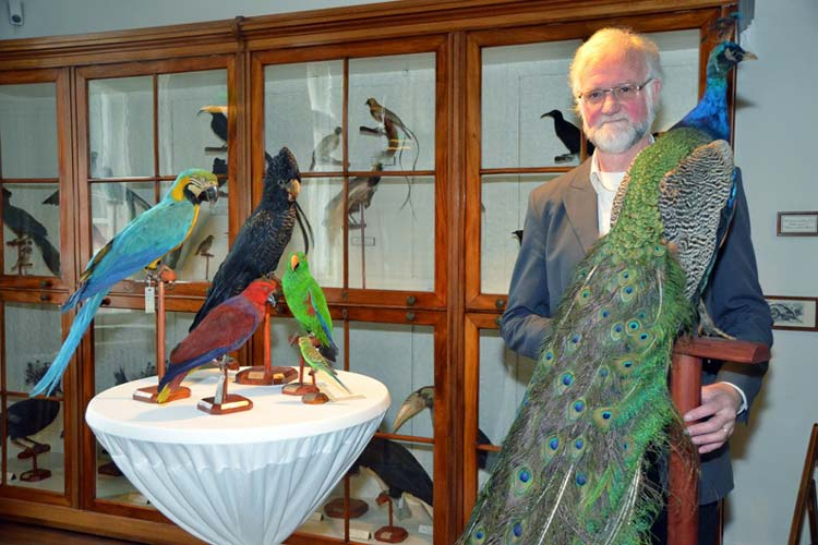 Dieser Pfau, den Ulf Beichle präsentiert, gehört zu den Prachtexemplaren des Landesmuseums.