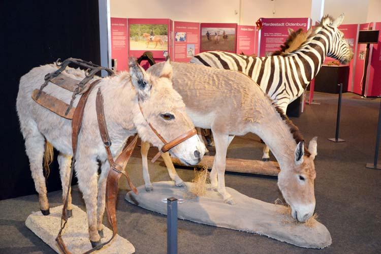 Auch Onager, dabei handelt es sich um asiatische Wildesel, und ein Zebra, alles Verwandte des Pferdes, sind in der Ausstellung zu sehen.