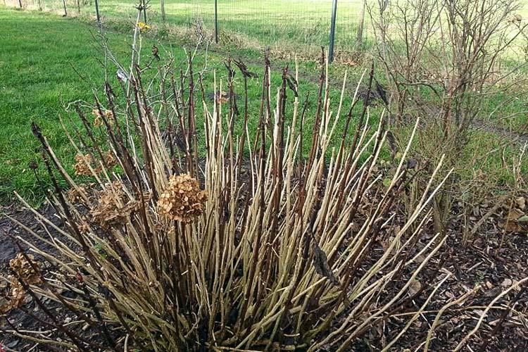 Die Gartenbesitzer sind sauer: Sie müssen in diesem Jahr auf den Anblick der schönen Hortensien-Blüten verzichten.