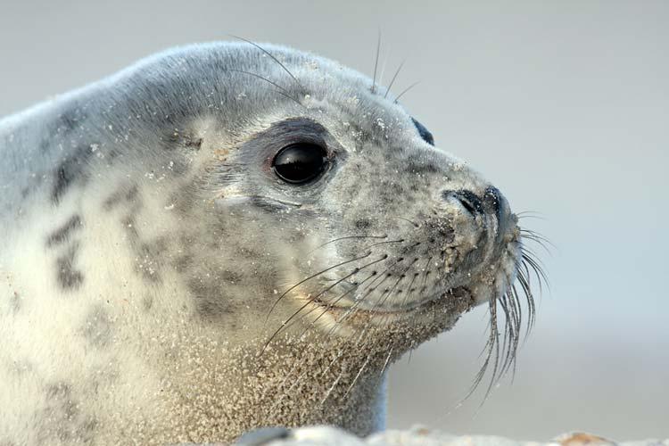 Auch dieser Seehund lebt im Wattenmeer.