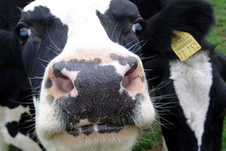 Die Milch von Weidekühen soll besonders gekennzeichnet werden.