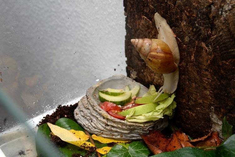 Achat-Schnecken lieben frisches Obst und Gemüse.