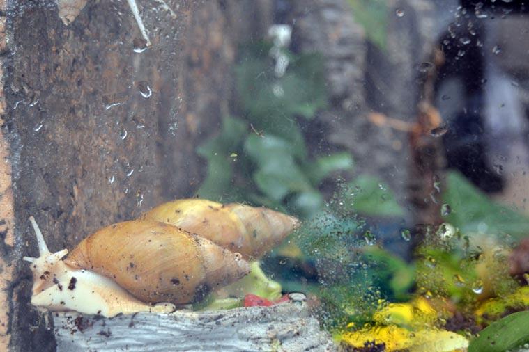 Die Riesenschnecken mögen im Terrarium eine Luftfeuchtigkeit von 70 Prozent.