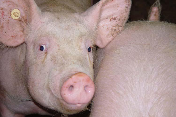 Die Landwirtschaftskammer befürwortet starke Reduzierung von Antibiotika und neue Ställe mit moderner Seuchentechnik.