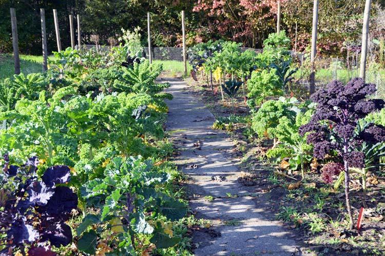 Rund 50 Kohlsorten hat Christoph Hahn im Botanischen Garten für seine Grünkohlforschung gepflanzt.