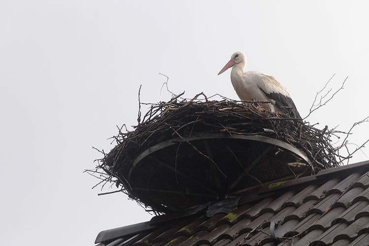 Das Storchennest in Bornhorst ist das einzige, das im Stadtgebiet Oldenburg von den Zugvögeln angenommen wurde.