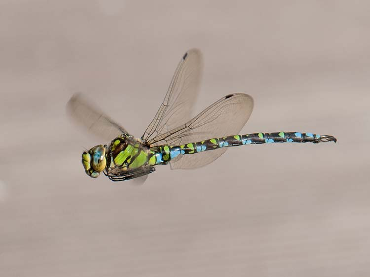 Die Blaugrüne Mosaikjungfer ist eine Großlibelle, die die meisten Menschen schon einmal gesehen haben dürften.