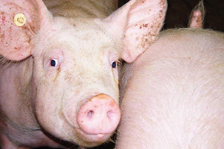 Schweine müssen beschäftigt werden, um Schwanzbeißverletzungen vorzubeugen.