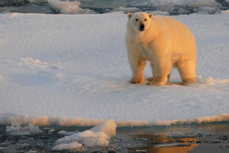 Eisbär auf Spitzbergen.