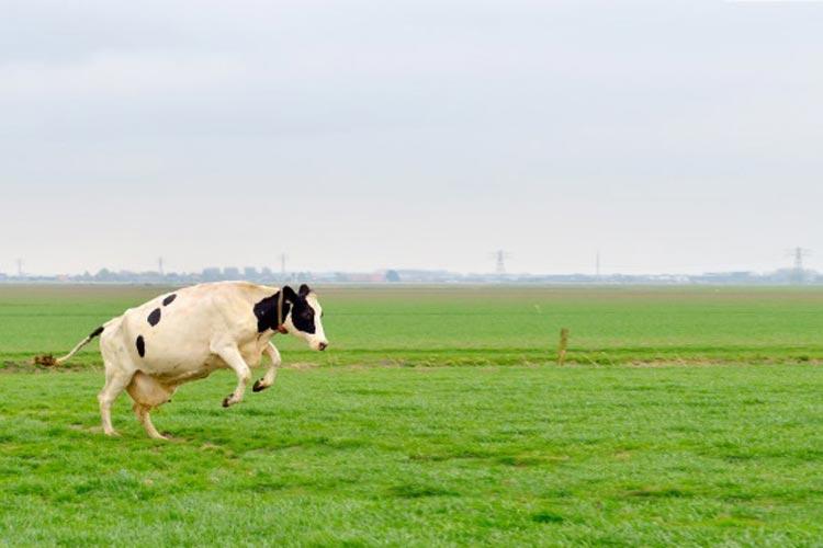 Mit Freundensprüngen zeigen die Milchkühe ihre Begeisterung: endlich wieder Gras unter den Füßen.