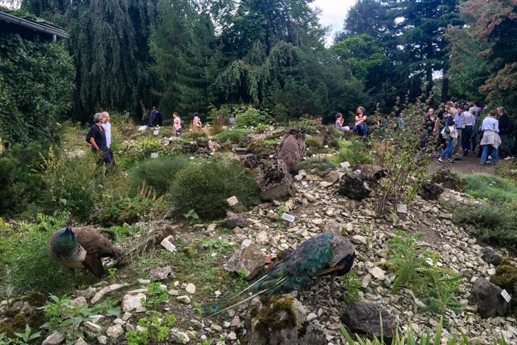 Die Pfauen des Botanischen Gartens ließen sich durch die Besucher nicht stören.