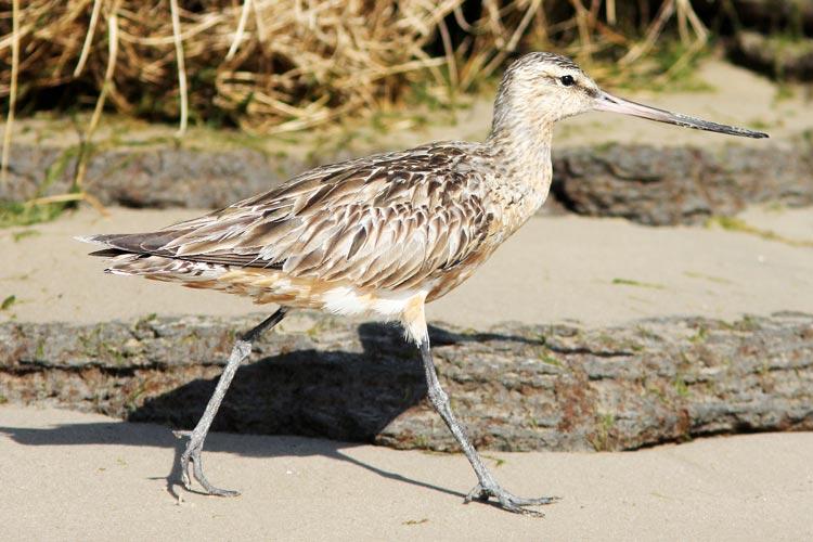 Pfuhlschnepfen sind die Wappenvögel der Zugvogeltage im Nationalpark Niedersächsisches Wattenmeer.