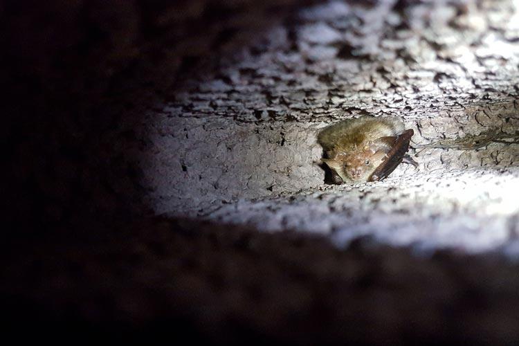 Die Langohrfledermaus Berta hat ihr Winterquartier im Bunker bezogen.