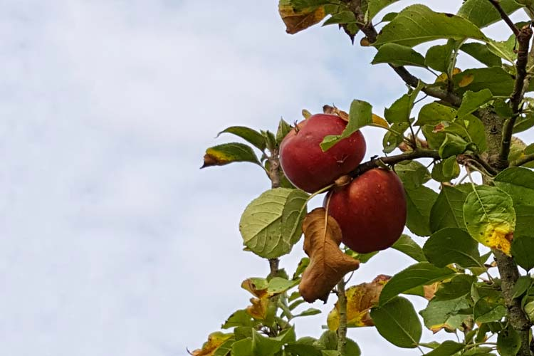 Forscher der Universität Oldenburg wollen für ökologischen Landbau neue Apfelsorten züchten.