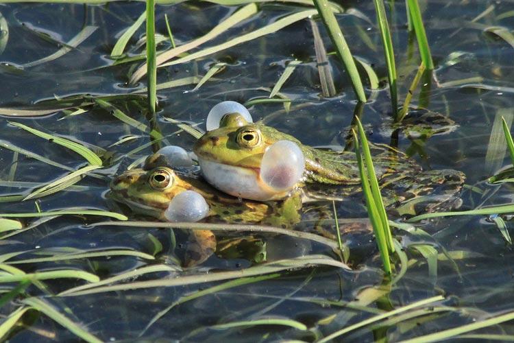 Aufgrund des feuchten Wetters mit steigenden Temperaturen wird die immer größer werdende Amphibienwanderung auch in Oldenburg beginnen.