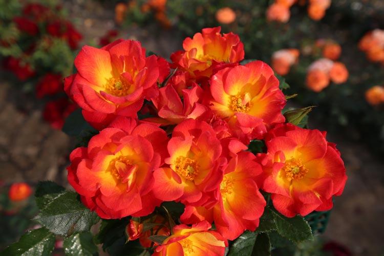 Die neu gezüchtete Rose wird am 10. Juni auf den Namen Summer of Love getauft und ist auf dem Gartenmarkt (Julius-Mosen-Platz und in der Haarenstraße) erhältlich.