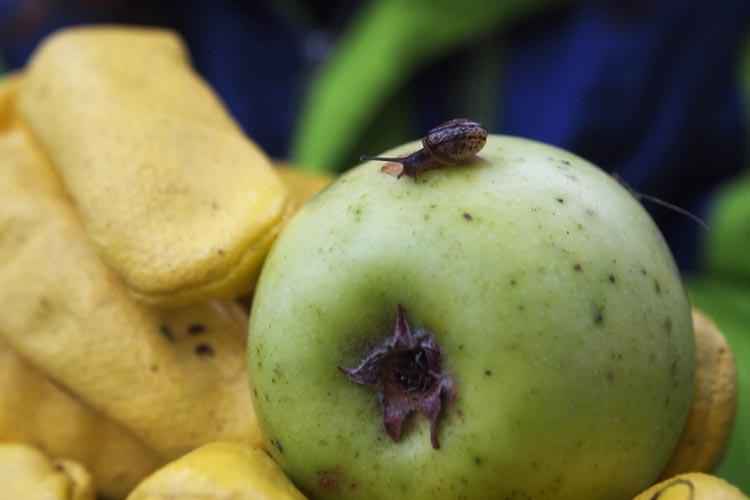 Auch kleine Schnecken mögen die Äpfel.