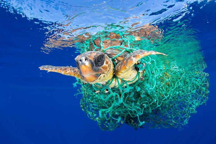 Meeresschildkröten gehören laut Liste der International Union for Conservation of Nature (IUCN) zu den bedrohten Arten. Im Atlantik vor Teneriffa hat sich eine davon in einem treibenden Fischereinetz verheddert. Herrenlose Fischernetze, sogenannte Geisternetze, schwimmen überall in den Meeren. In ihnen verfangen sich Fisch und andere Meerestiere und verenden jämmerlich.