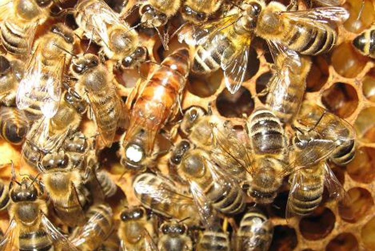 Eine Bienenkönigin mit ihrem Hofstaat.