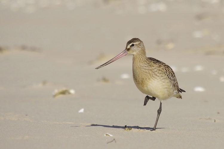 Die Pfuhlschnepfe ist Titelvogel der 10. Zugvogeltage im Nationalpark Niedersächsisches Wattenmeer.