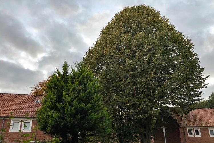 Die große Linde in der Berliner Straße ist eine von den 93 Bäume im Oldenburger Stadtgebiet die gefällt werden muss.
