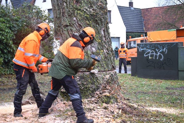 Im Fahlenhorst wurden zwei Silberweiden gefällt. An deren Stelle werden im kommenden Jahr neue Bäume gepflanzt.