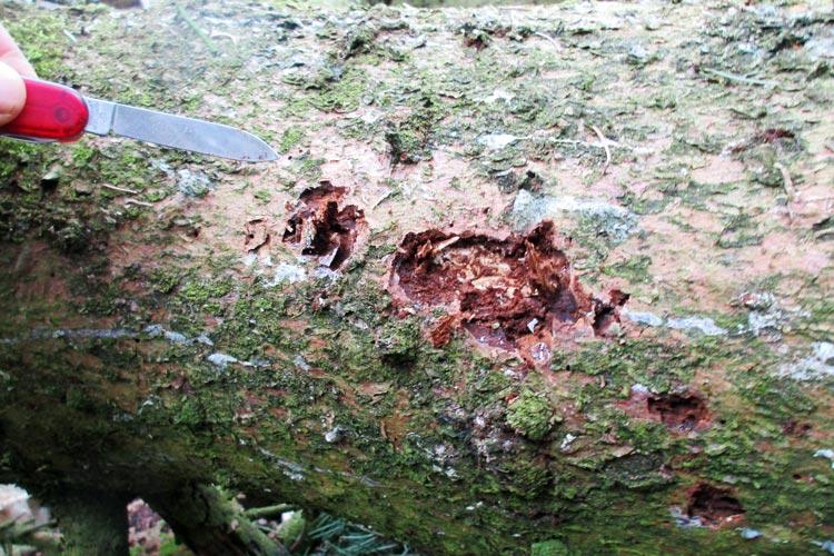 Die sich ablösende Rinde weist auf einen Befall durch den Borkenkäfer hin.