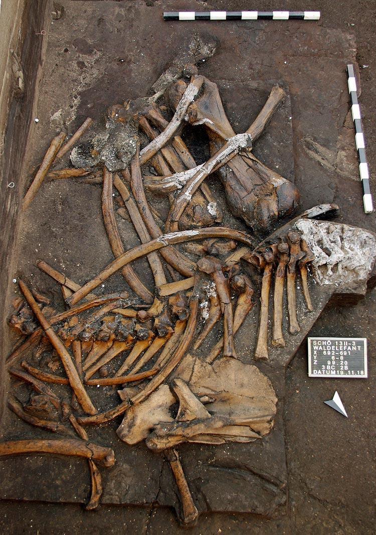 Der vordere Körperteil des Waldelefanten.