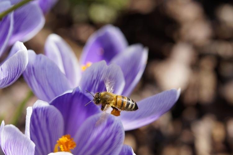 Die Bienen freuen sich schon jetzt auf Krokusse im Frühling.