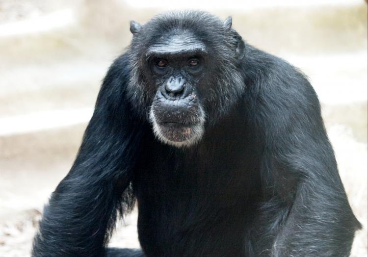 Schimpanse, über dts Nachrichtenagentur