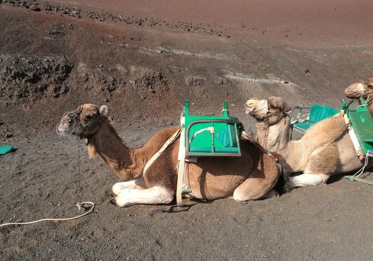 Kamel, über dts Nachrichtenagentur