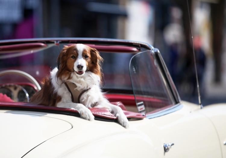 Hund in einem Oldtimer, über dts Nachrichtenagentur