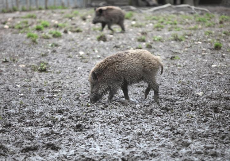 Wildschwein, über dts Nachrichtenagentur